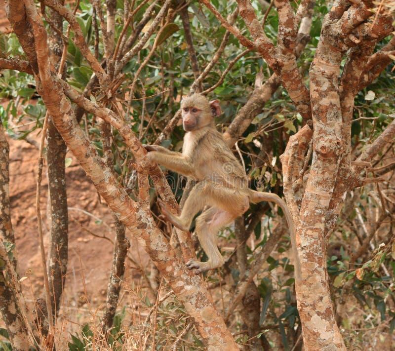 Jeune babouin photographie stock libre de droits