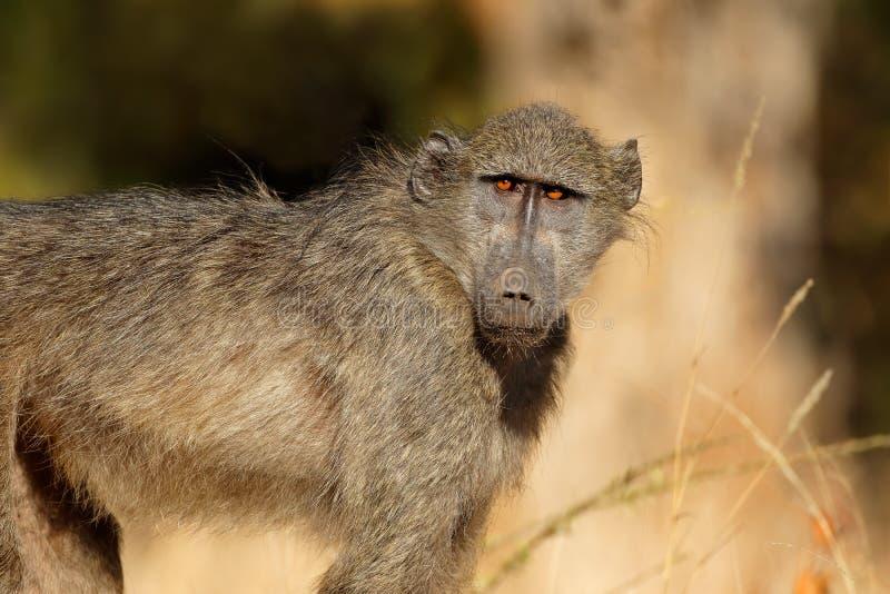 Jeune babouin de chacma - parc national de Kruger image libre de droits