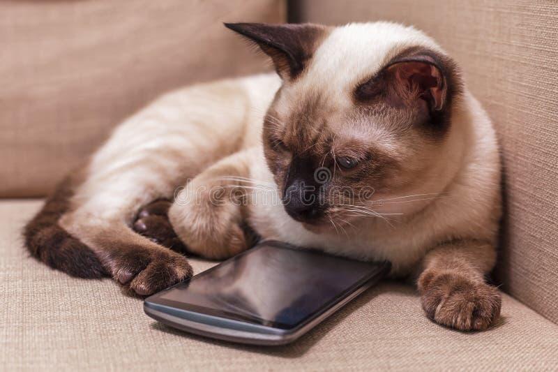 Jeune beau chat thaïlandais se trouvant sur le divan et jouant avec un téléphone portable image stock