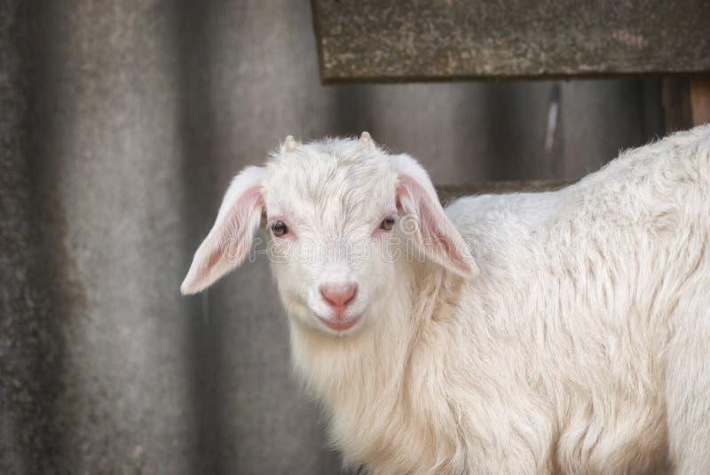 Jeune beau goatling blanc, frôle sur la nature de ressort dans la cour près de la maison photo stock