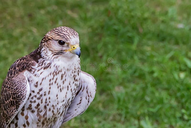 Jeune blanc d'habit bariolé de faucon avec les plumes brunes photographie stock