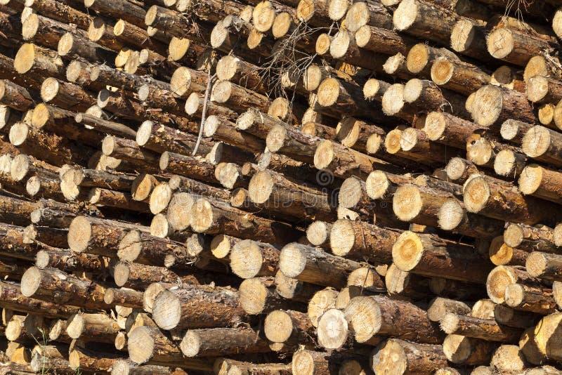 jeune bois de pin images libres de droits