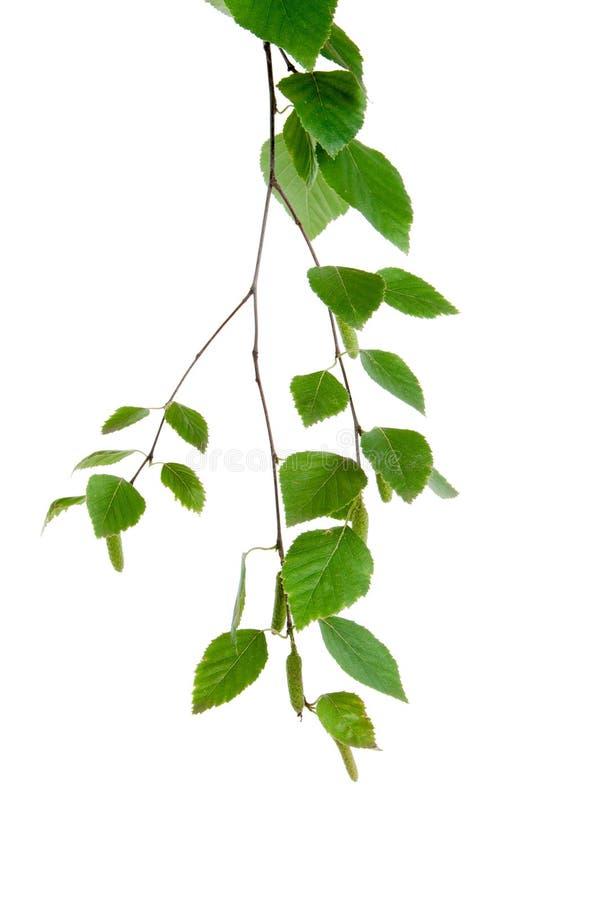 jeune branche de bouleau avec des bourgeons et des feuilles photo stock image du neuf fond. Black Bedroom Furniture Sets. Home Design Ideas