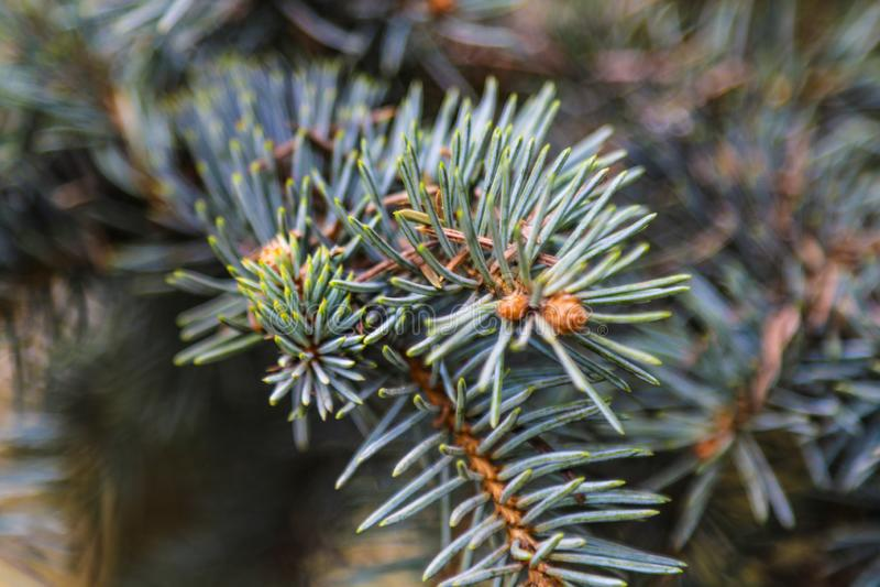 Jeune branche de sapin ou de pin au printemps étroitement  images libres de droits