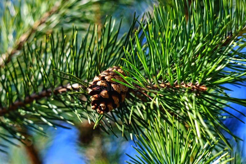 Jeune branche verte fraîche colorée de pin avec un plan rapproché de cône image libre de droits