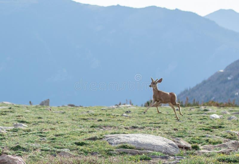 Jeune Buck Deer avec de nouveaux andouillers fonctionnant dans un pré alpin un jour d'été chez Rocky Mountain National Park dans  images libres de droits
