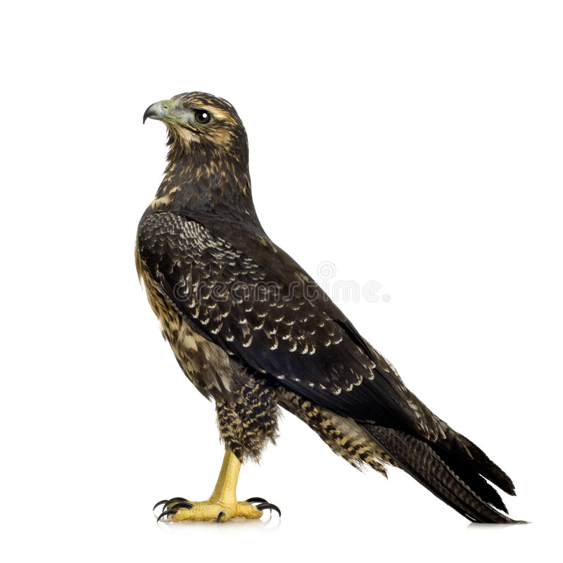 Jeune Buse-aigle Noir-chested photographie stock