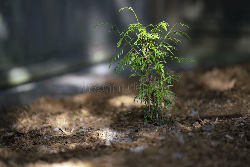Jeune cèdre vert qui pousse en Colombie-Britannique Canada images stock