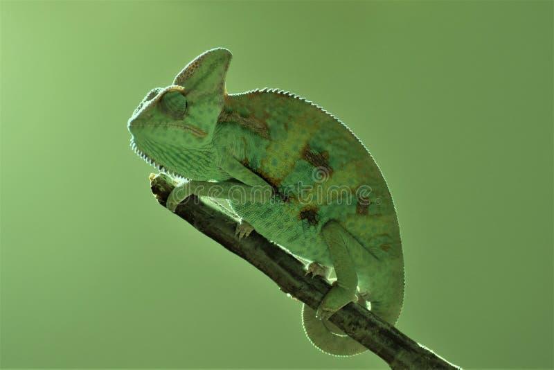 Jeune caméléon vert sur la brindille photo libre de droits
