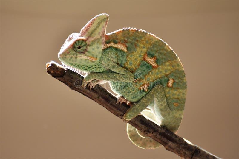Jeune caméléon vert sur la brindille images stock
