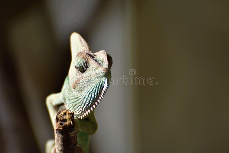 Jeune caméléon vert sur la brindille image stock