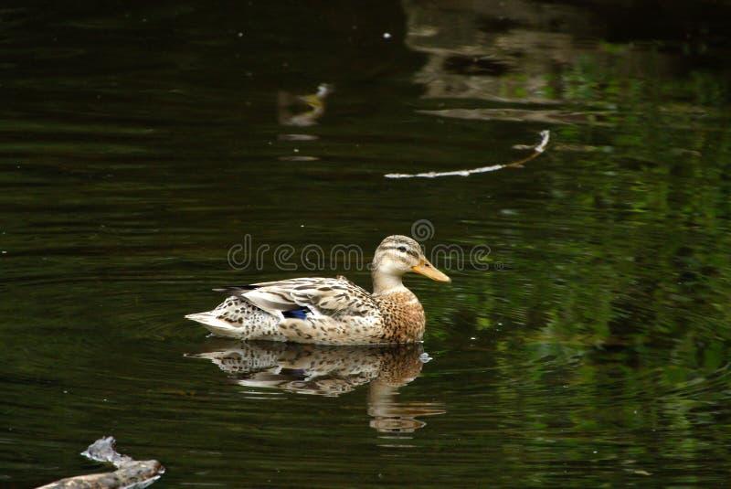 Jeune canard femelle de colvert images libres de droits