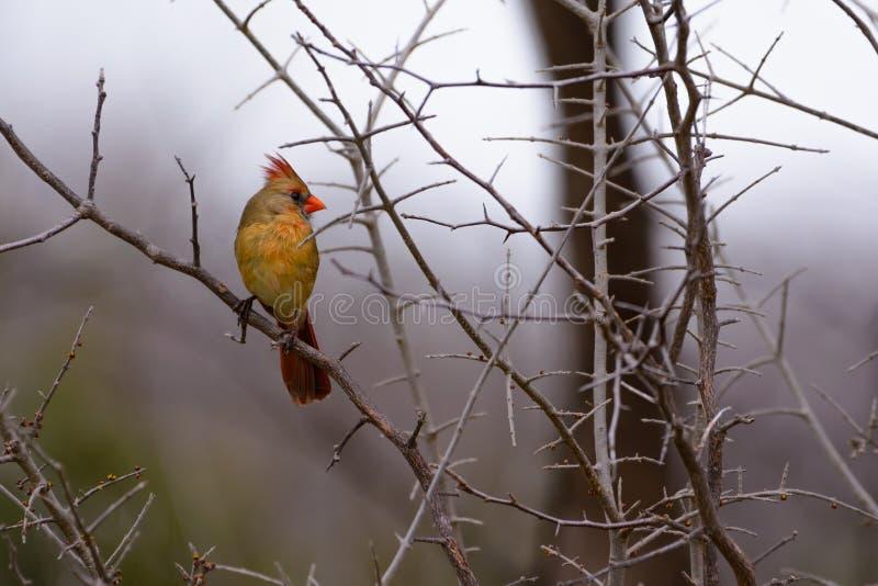 Jeune cardinal féminin image stock