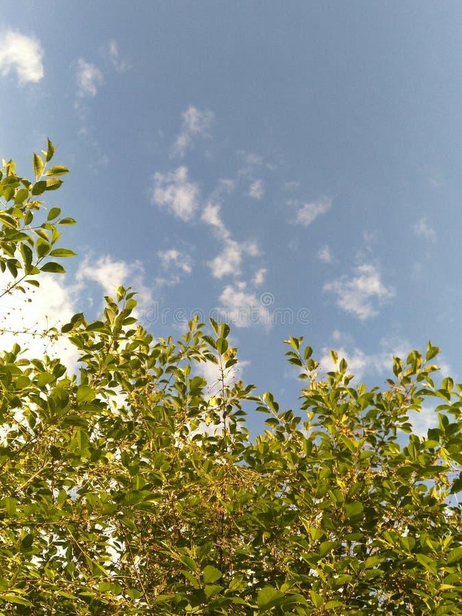 Jeune cerise verte de branches avec des ovaires fixes avec le ciel bleu clair avec les nuages rares, fond naturel photo stock
