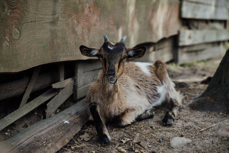 Jeune chèvre à la ferme photo stock