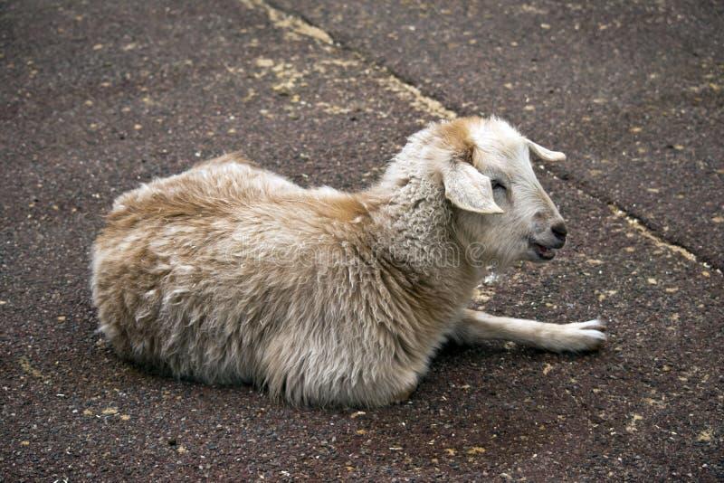 Jeune chèvre autrement connue sous le nom d'enfant photographie stock libre de droits