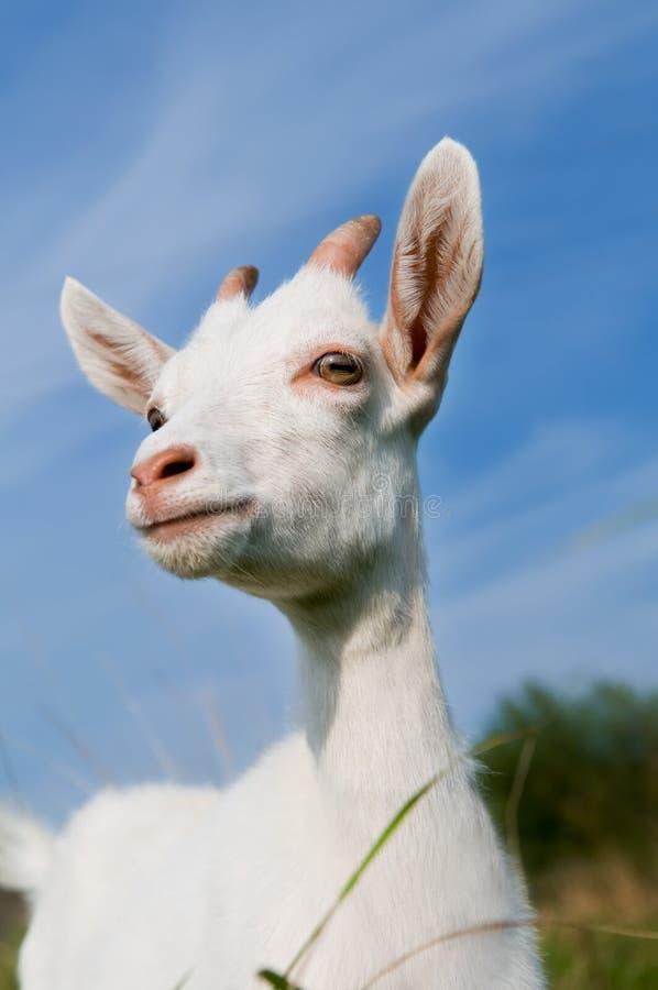 Jeune chèvre avec de petits klaxons photo stock