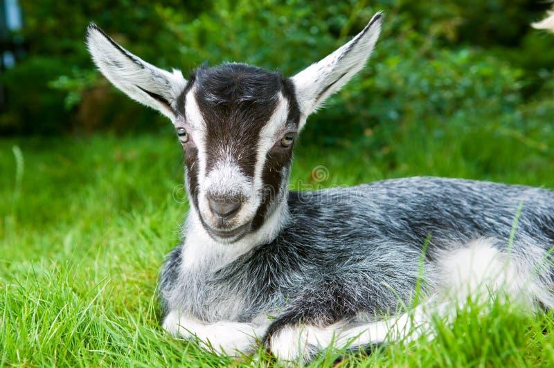 Jeune chèvre blanche noire sur le vert photographie stock libre de droits