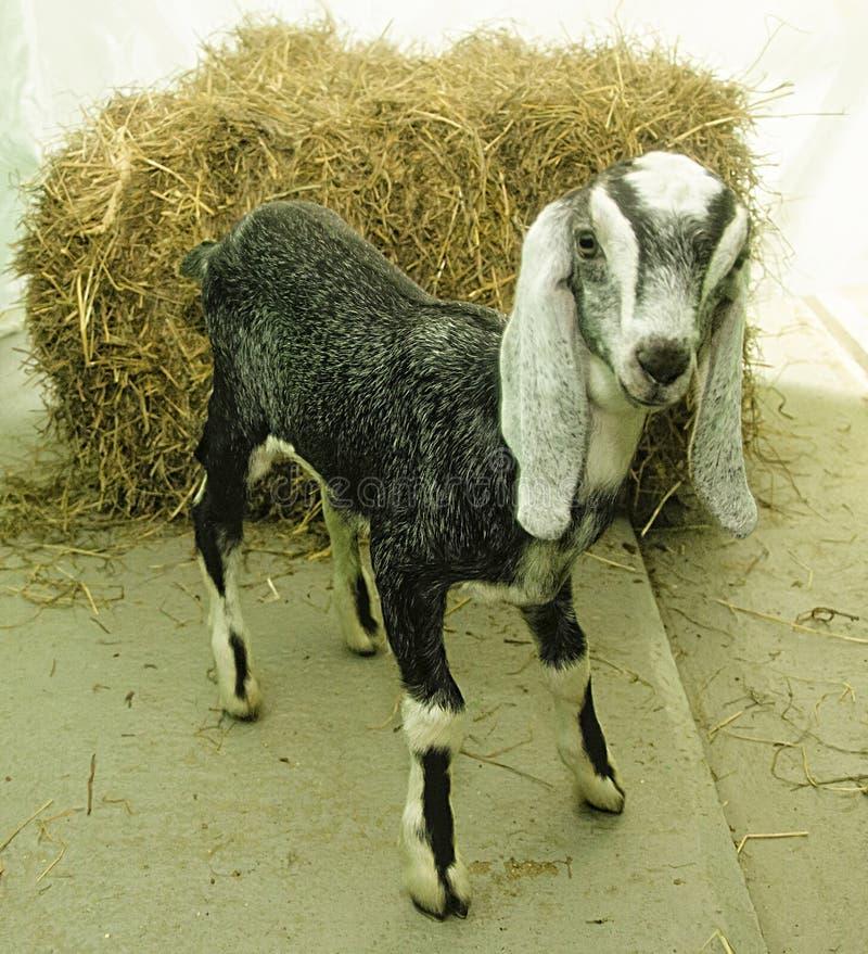 Jeune chèvre femelle de Nubian images libres de droits