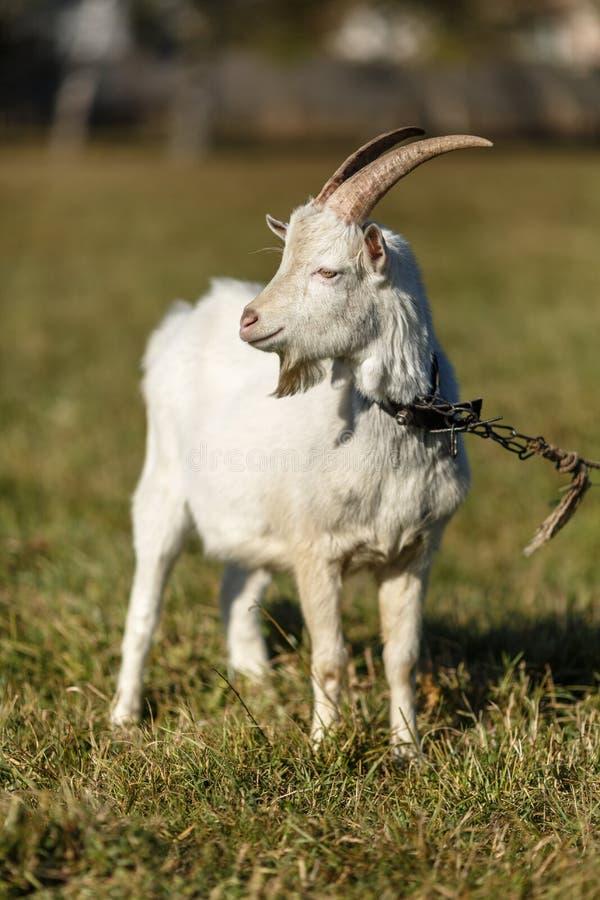 Jeune chèvre frôlant dans un pré photographie stock libre de droits