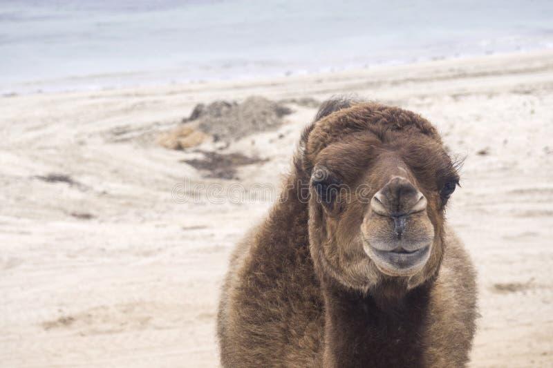 Jeune chameau sur le sable par la mer photo libre de droits