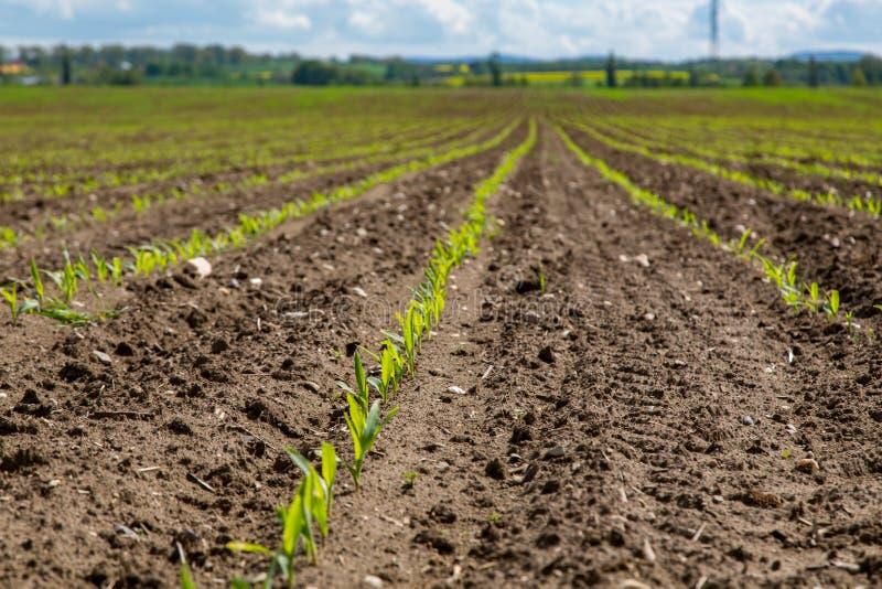 Jeune champ de maïs images libres de droits