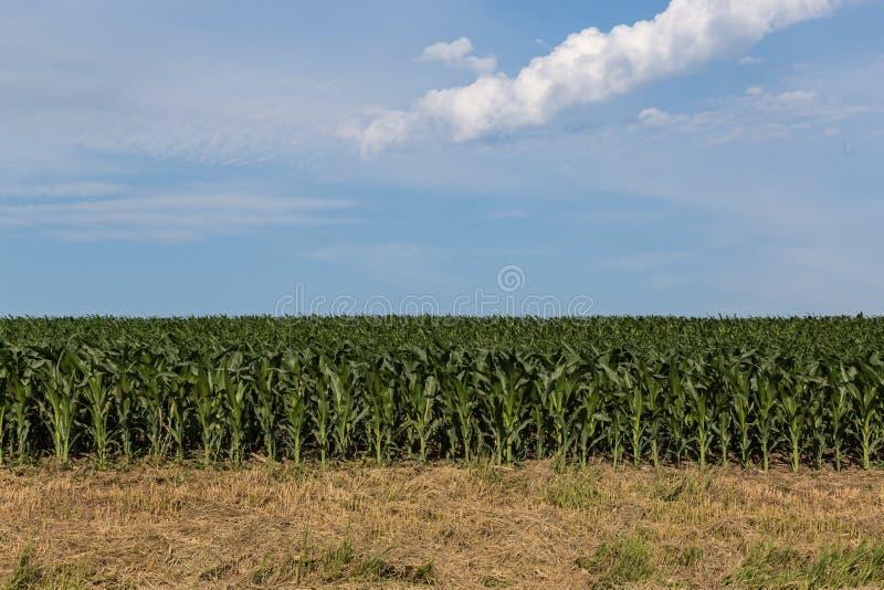 Jeune champ de maïs quelque part en Omaha Nebraska photos stock