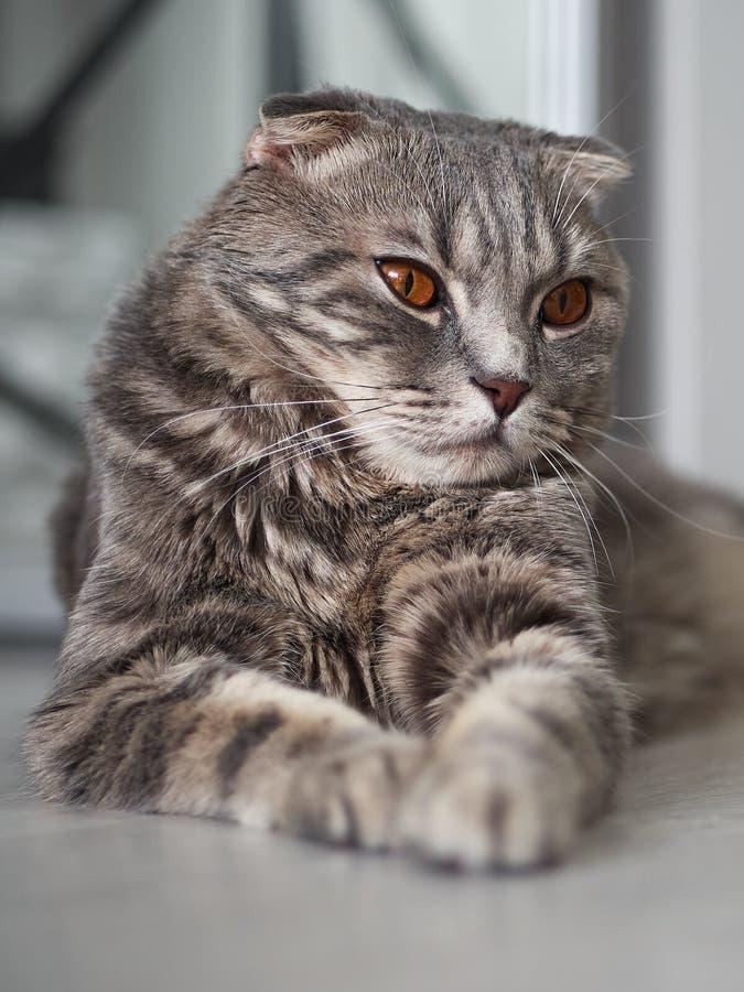 Jeune chat écossais tigré magnifique de pli se trouvant sur le plancher photo stock