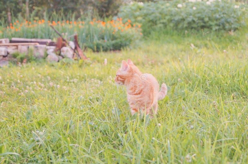 Jeune chat avec la coccinelle sur un champ vert images stock