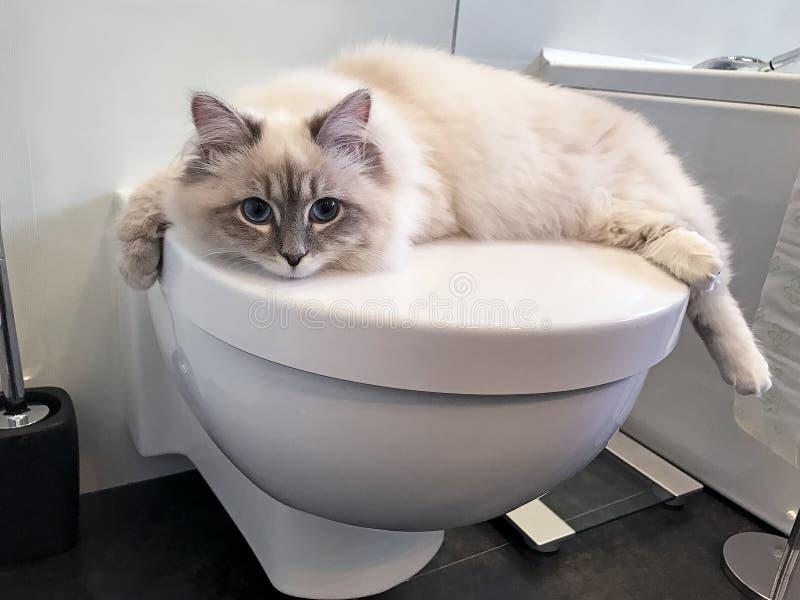 Jeune chat blanc avec du charme se trouvant sur le couvercle blanc de la toilette à l'intérieur de la salle de bains image stock