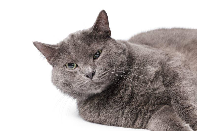Jeune chat britannique adulte de shorthair avec les yeux verts photos stock
