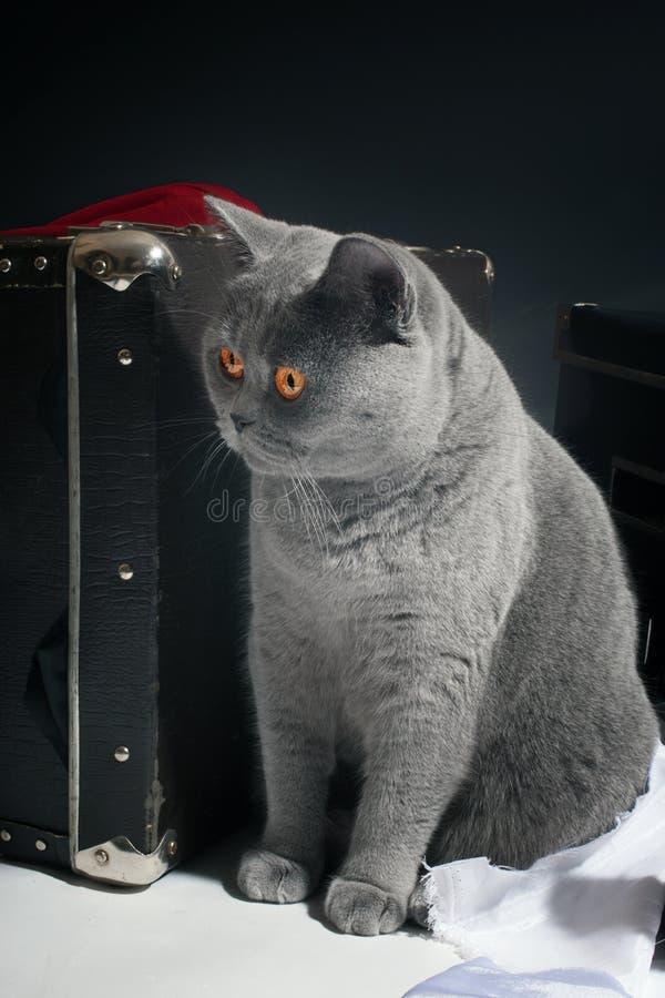 Jeune chat britannique gris images stock