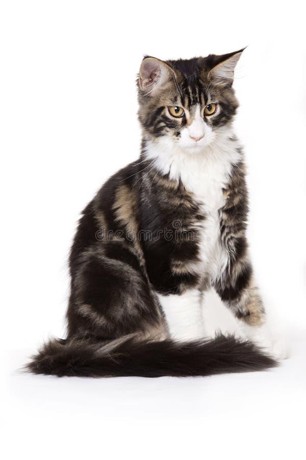 Jeune chat de ragondin du Maine photos stock