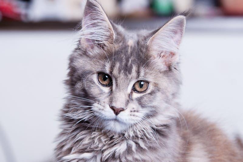 Jeune chat de ragondin du Maine image stock