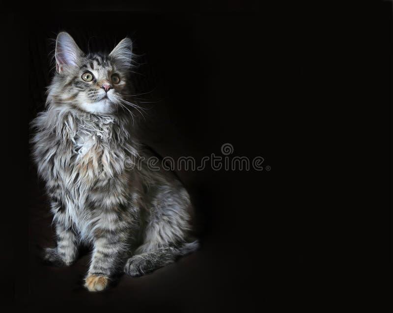 Jeune chat de ragondin du Maine sur un fond foncé Beau minou image libre de droits