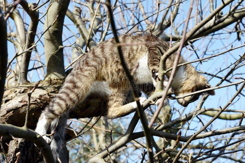 Jeune chat gris se reposant dans le pommier observant pour des oiseaux photographie stock libre de droits