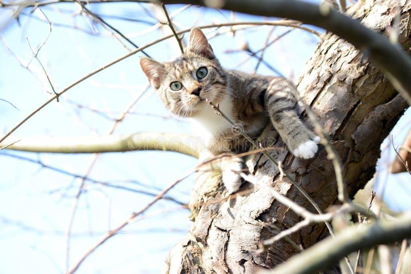Jeune chat gris se reposant dans le pommier observant pour des oiseaux photo stock