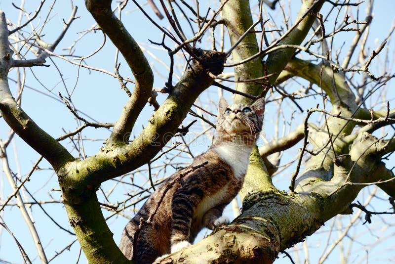 Jeune chat gris se reposant dans le pommier observant pour des oiseaux images stock