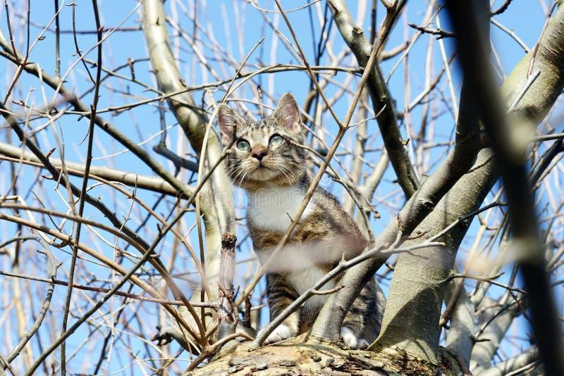 Jeune chat gris se reposant dans le pommier observant pour des oiseaux image libre de droits