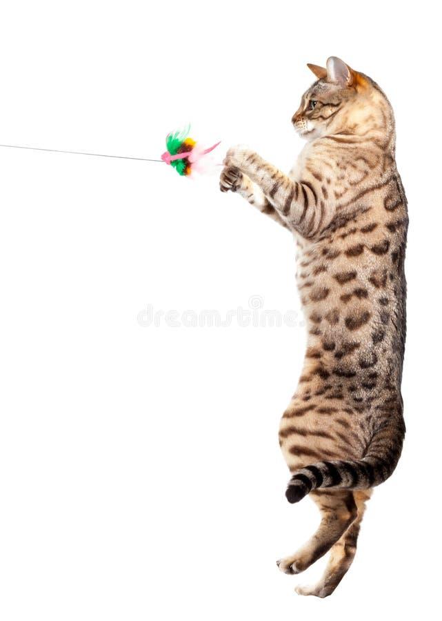 Chat du Bengale griffant à l'air photos stock