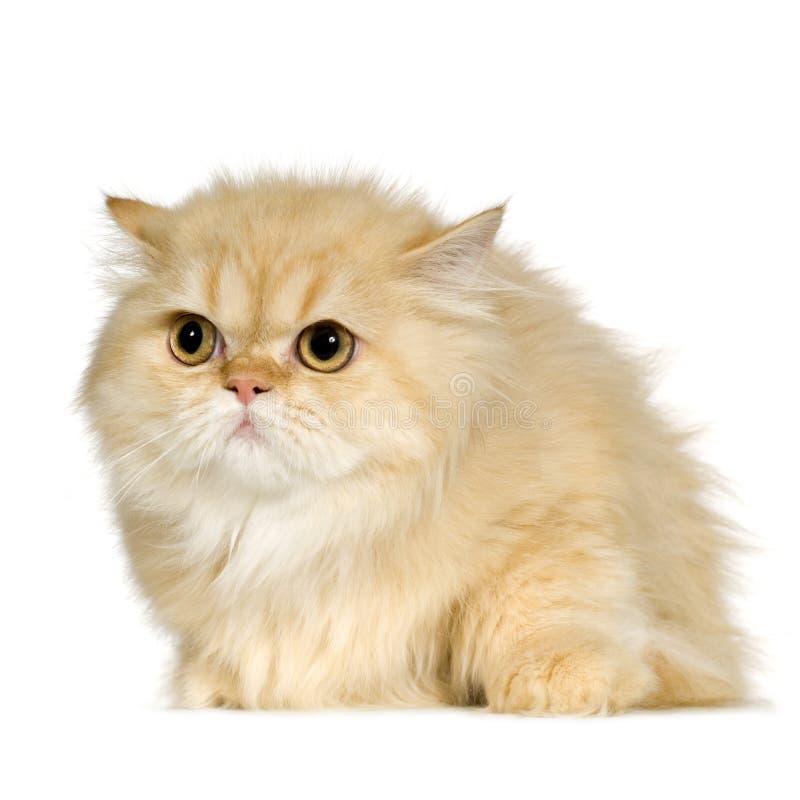 Jeune chat persan (6 mois) photos libres de droits
