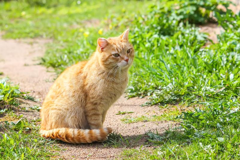 Jeune chat rouge avec les yeux verts sur le fond d'herbe d'été dans une cour de pays image stock
