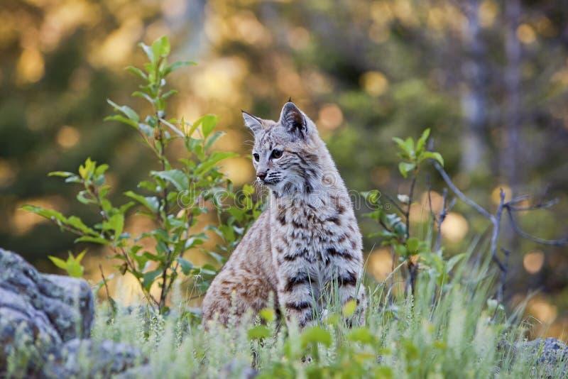 Jeune Chat Sauvage Dans La Forêt Occidentale Photographie stock