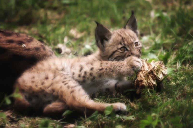 Jeune chat sauvage de lynx image libre de droits