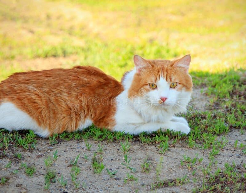 Jeune chat se situant dans l'herbe images libres de droits