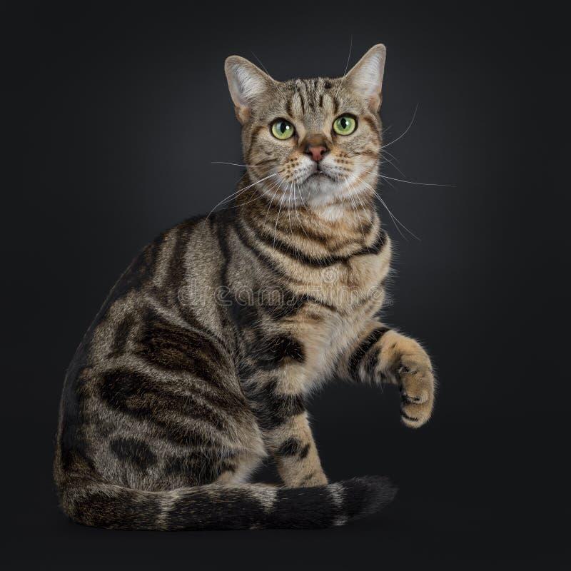 Jeune chat tigré brun beau de Shorthair d'Américain sur le fond noir photos stock