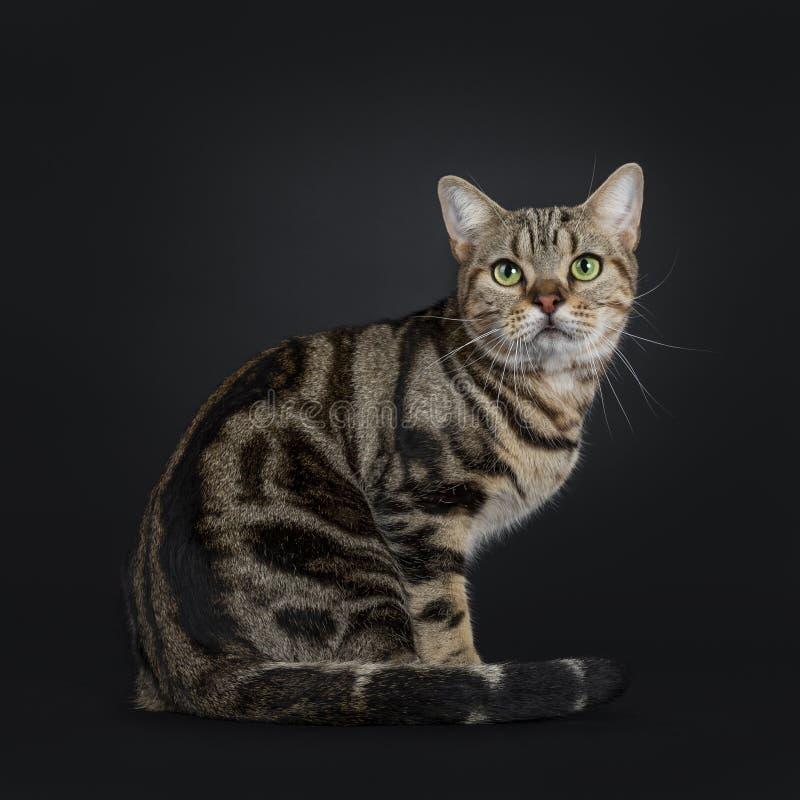 Jeune chat tigré brun beau de Shorthair d'Américain sur le fond noir images stock