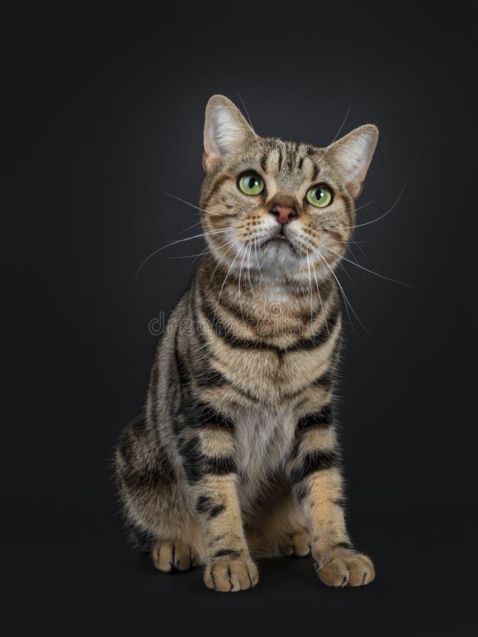 Jeune chat tigré brun beau de Shorthair d'Américain sur le fond noir images libres de droits