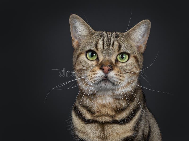 Jeune chat tigré brun beau de Shorthair d'Américain sur le fond noir image libre de droits