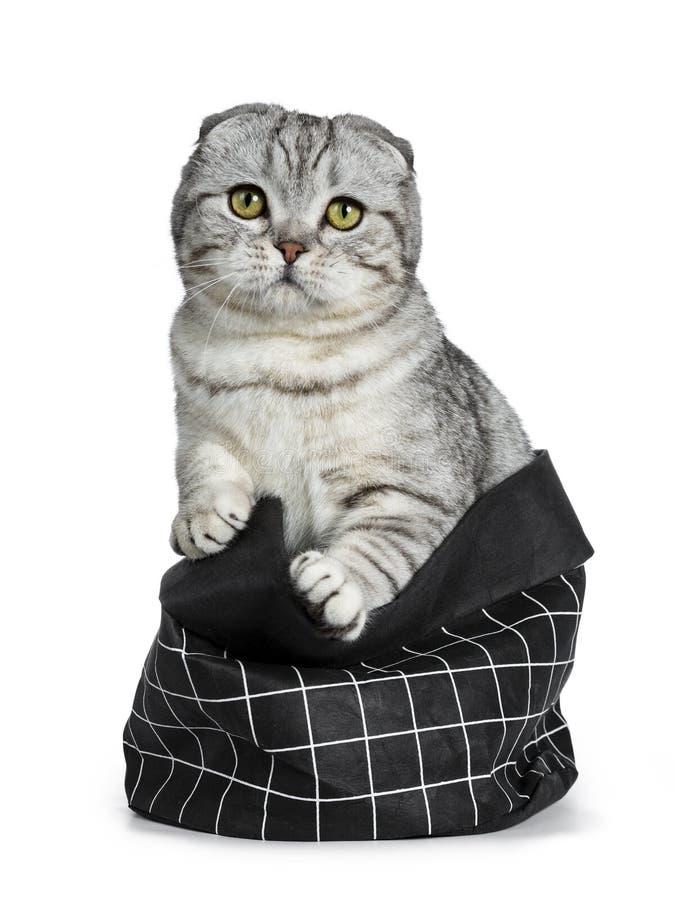 Jeune chaton écossais tigré argenté mignon de chat de pli, d'isolement sur le fond blanc image libre de droits